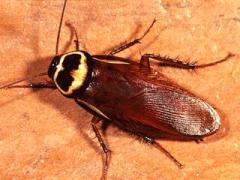 Australian_Cockroach-Periplaneta-australasiae1