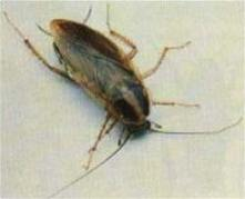 german-cockroach-picture